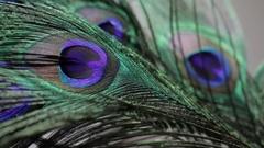 CU Peacock feather Stock Footage