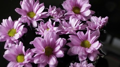 CU Group of lavender daisies floating on water Stock Footage