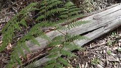 MS HA Green fern against fallen tree / Australia Stock Footage