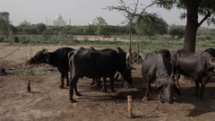 WS Small herd of cows in field in front of Taj Mahal / Agra, India Stock Footage