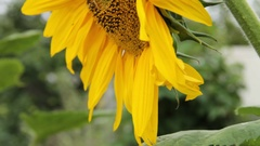 Flower sunflower swaying in the wind Stock Footage