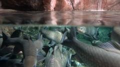 Koi carp swimming in tank Stock Footage
