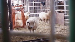 4K Farmer taking care of flock of sheep in interior of farm building Stock Footage