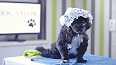 Puppy at dog salon on table with hair net on head 4K Stock Footage