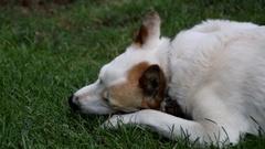 Dog enjoys chewing bone Stock Footage