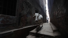 WS White cows standing in alley / Varanasi, India Stock Footage