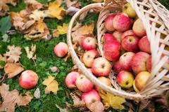 Wicker basket of ripe red apples at autumn garden Kuvituskuvat