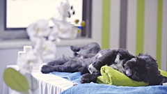 Black small dog on back relax lying at colorful dog salon room 4K Stock Footage
