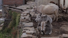 WS Cows resting in front of house / India Stock Footage