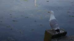 WS Seagull Flying Off Pier / England, UK Stock Footage