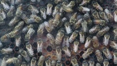 Honey bee colony on enclosed artificial hive Stock Footage