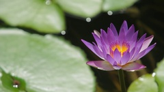 CU LD Purple Water Lilly in Pond Stock Footage