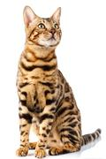 Bengal cat on white background quietly sits and looks up with interest Stock Photos