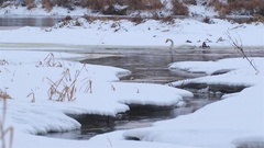 Whooper swan in winter river. Stock Footage