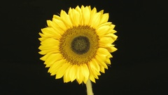 Growing Whitering Disc Florets Sunflower - 25FPS PAL Stock Footage