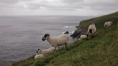 WS Sheep Grazing on Side of Cliff near Ocean / Ireland Stock Footage