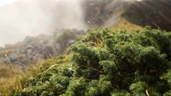 Smooth movement mountain landscape with low-growing thickets of pine and foggy Stock Footage