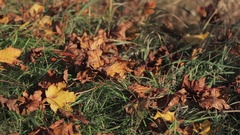 Autumn leaves are falling all around to the green grass, wind weather. Stock Footage