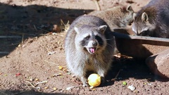Raccoon Eating Apple Stock Footage