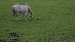 WS LD White Horse Grazing in Field / Ireland Stock Footage