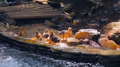 Small cute ducklings frolic near the pond with waterfall Stock Footage