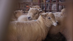 4K Flock of sheep in a farm building huddling together. No people.  Stock Footage