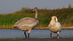 Whooper swans. Young and adult. Stock Footage
