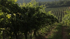 MH DS Rows of Grape Vines in Vineyard / Tuscany, Italy Stock Footage