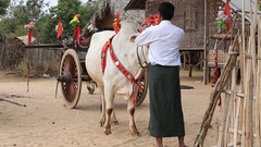 Decorated buffalo and people in traditional ceremony, Bagan, Myanmar. Burma Stock Footage