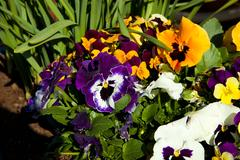 Multi-colored pansy flowers Stock Photos