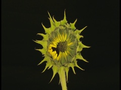 Life and Death of a Sunflower - 25FPS PAL Stock Footage