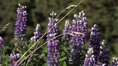 Mountain Lupine Swaying Gently Stock Footage