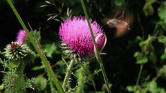 Insect sucking Nectar from the flower of a thistle Stock Footage