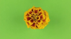 Slow rotation of a yellow flower on a green background, keying Stock Footage