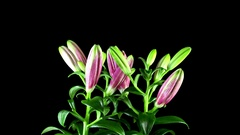 Timelapse of light pink lily flower blooming on black background. Stock Footage