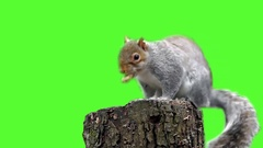 Squirrel gnawing nuts Stock Footage