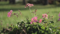 Wild pink flowers blowing by soft wind Stock Footage