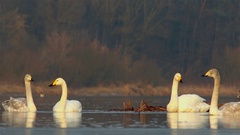 Whooper swan. Family. Stock Footage