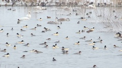 Common Merganser. Winter flock. Stock Footage