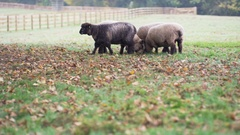 4K Flock of sheep on a farm grazing out in the field. No people.  Stock Footage