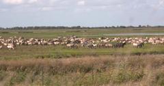 Konik herd, wild horses grazing in nature reserve Oostvaarderplassen Stock Footage