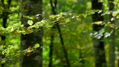 Beech Forest Branches with Leaves in Early Fall Stock Footage