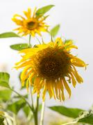 Beautiful yellow flower of a sunflower on nature Stock Photos