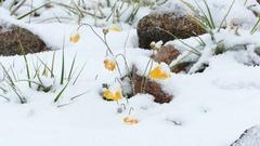 Mountain Yellow Poppies Stone Snowing2 4K Stock Footage