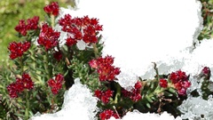 Red Flowers Snow Melting Time Lapse 4K Stock Footage