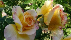 Yellow Hybrid Tea Rose Stock Footage
