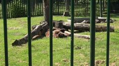 Poor animal brown bear Ursus arctos in zoo zoological garden Stock Footage