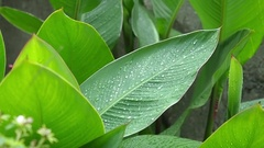 The large green leaves close-up waves on a wind. Stock Footage