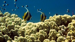 Clownfish family playing in their anemone home Stock Footage