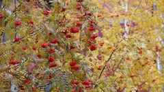 Branches rowanberry with bunch of red berry waving on wind in autumn. Stock Footage